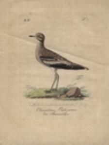 Charadrius Oedicnemus der Steinwälzer